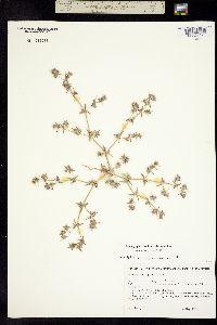 Image of Chorizanthe spinosa