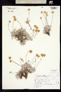 Eriogonum anemophilum image