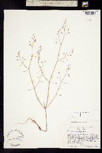 Image of Eriogonum apiculatum