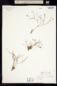 Image of Eriogonum apricum