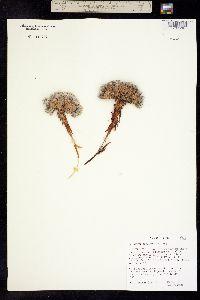Image of Eriogonum aretioides