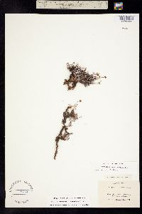 Eriogonum brevicaule image