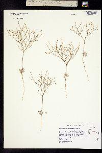 Eriogonum brachyanthum image