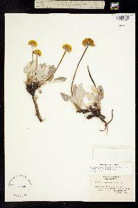 Image of Eriogonum compositum