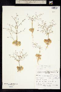 Image of Eriogonum carneum