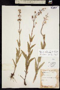 Image of Penstemon pallidus