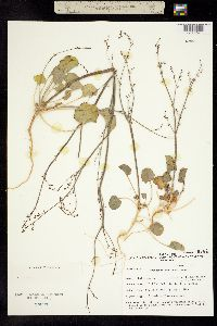 Eriogonum concinnum image