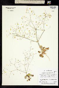 Image of Eriogonum contiguum