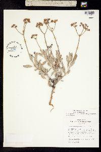 Eriogonum corymbosum var. corymbosum image