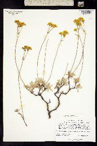 Image of Eriogonum congdonii