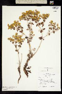 Image of Eriogonum correllii