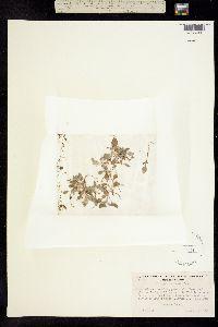 Image of Eriogonum crocatum