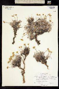 Image of Eriogonum cusickii
