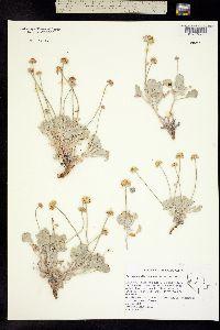 Image of Eriogonum diatomaceum