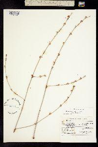 Image of Eriogonum elongatum