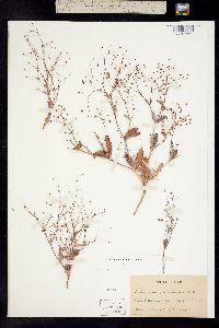 Image of Eriogonum gracillimum