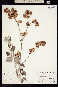 Image of Eriogonum giganteum
