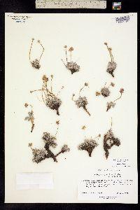 Image of Eriogonum gracilipes