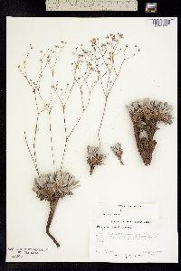 Image of Eriogonum havardii