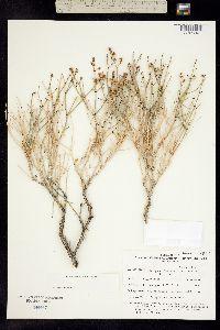 Eriogonum heermannii image