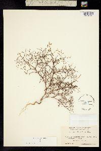 Image of Eriogonum hirtiflorum