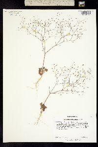 Image of Eriogonum howellianum