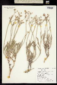 Eriogonum hylophilum image
