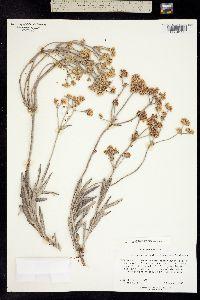 Image of Eriogonum hylophilum
