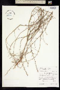 Image of Eriogonum clutei