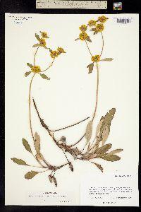 Image of Eriogonum bakeri