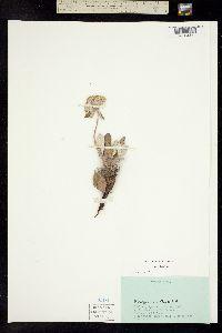 Image of Eriogonum xanthum