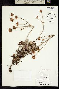Image of Eriogonum latifolium