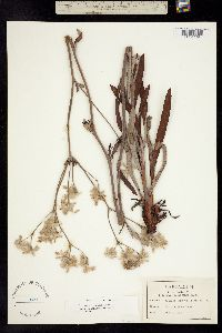 Image of Eriogonum longifolium