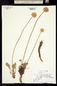 Image of Eriogonum latens