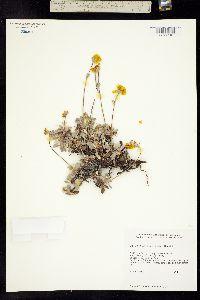 Image of Eriogonum libertini