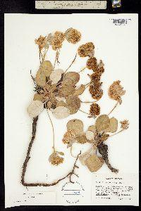 Image of Eriogonum lobbii