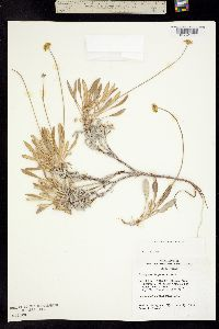 Image of Eriogonum loganum