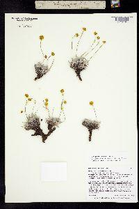 Image of Eriogonum mancum