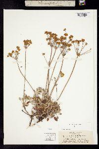 Image of Eriogonum marifolium