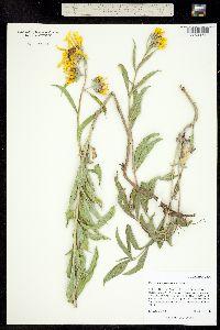 Image of Helianthus maximilianii