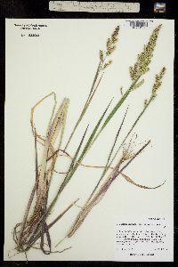 Image of Echinochloa muricata