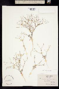 Image of Eriogonum mohavense
