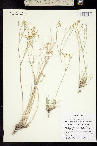 Eriogonum mitophyllum image