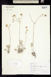 Eriogonum natum image