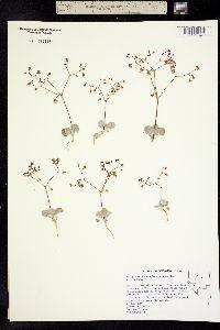 Image of Eriogonum nutans