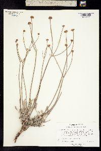 Image of Eriogonum novonudum