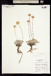 Eriogonum ovalifolium image
