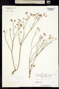 Image of Eriogonum ostlundii
