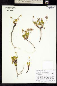 Image of Eriogonum pyrolifolium