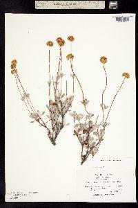 Image of Eriogonum prattenianum